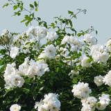 Rose Snow Goose