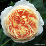 Rose 'Bathsheba' - David Austin - Potted