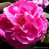 Rose 'Princess Anne' - David Austin Potted