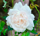 - Madame Alfred Carriere Climbing Rose