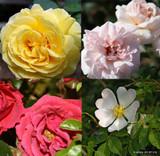 Lucky Dip Rose