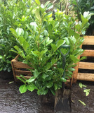 10 x 4ft+ Rootballed Cherry Laurel, extra bushy