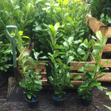 10 x Cherry Laurel 90cm in 2ltr pots