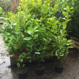 10 x Cherry Laurel 120cm in 5ltr pots