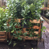 50 x Cherry Laurel 100cm in 3ltr pots AVAILABLE WHEN WE RE-OPEN