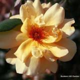 Mai Gold - Climbing Rose