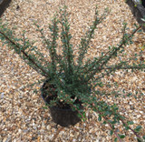 Cotoneaster microphyllus - 3ltr pot