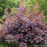 Cotinus 'Grace' - 3ltr pot