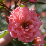 Nice Day - Climbing Rose
