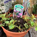 Bergamot, pink (Monarda digyma) 11cm pot