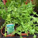 Chicory (11cm)