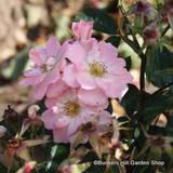 Open Arms - Climbing Rose