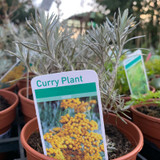 Curry plant (11cm)