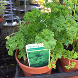Parsley Curled (11cm)