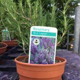 Rosemary 'Blue Lagoon' (11cm)