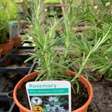 Rosemary 'Miss Jessop's Upright' (11cm)