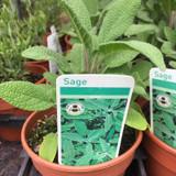 Sage (11cm)