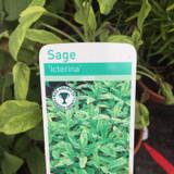 Sage Golden Variegated (11cm)