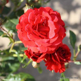 Paul's Scarlet - Climbing Rose