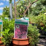 Thyme, 'Bressingham Pink' (11cm)