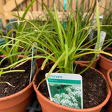 Chives, garlic (Allium tuberosum) 14.5cm pot