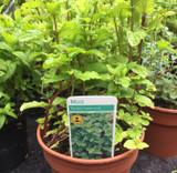 Mint - Garden Spearmint (14.5cm)