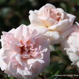 Penny Lane - Climbing Rose