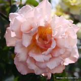 Phyliss Bide - Climbing Rose