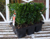 Box - pack of 6 (Buxus sempervirens)