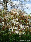 Amelanchier lamarckii - 3ltr pot