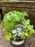 Anemone 'Honorine Jobert' - 2ltr pot
