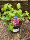 Anemone huphensis japonica splendens - 1.5ltr pot