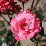 Pink Perpetue - Climbing Rose