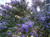 Ceanothus 'Yankee Point' - 4ltr pot