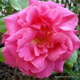 Pink Showers - Climbing Rose