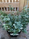 Euonymus 'Emerald Gaiety - 2ltr pot