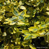 Euonymus 'Emerald & Gold' - 2ltr pot