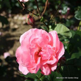 Queen Elizabeth - Climbing Rose