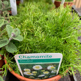 Chamomile, double flowered (Chamaemelum nobile 'Flore pleno) 11cm pot