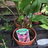 Echinacea (11cm)