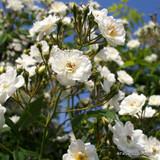 Rambling Rector -  Rose