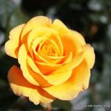 Royal Gold - Climbing Rose