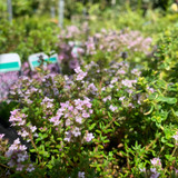 Thyme, Common culinary (11cm)