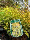 Ligustrum Lemon & Lime
