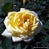 Summertime - Climbing Rose