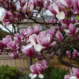 Magnolia × soulangeana 'Rustica Rubra'