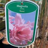 Magnolia stellata 'Rosea' 5ltr pot