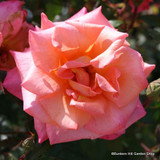 Sunrise - Climbing Rose