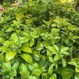 Pachysandra terminalis 'Green Carpet'- 1.5ltr