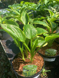 Hosta 'So Sweet' - 3ltr pot